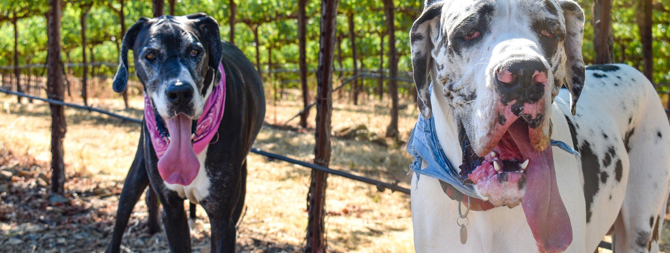 Dogs in Vineyard