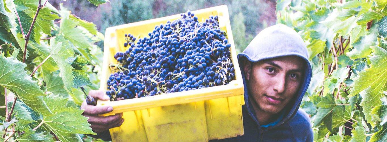 Man picking grapes