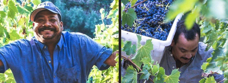 Men picking grapes